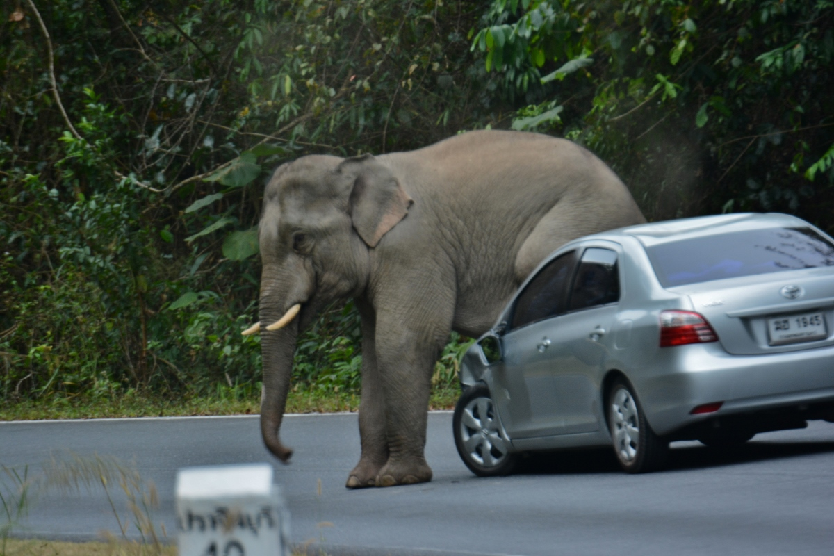 Tourists warned not to take photos of wild elephants | Samui Times