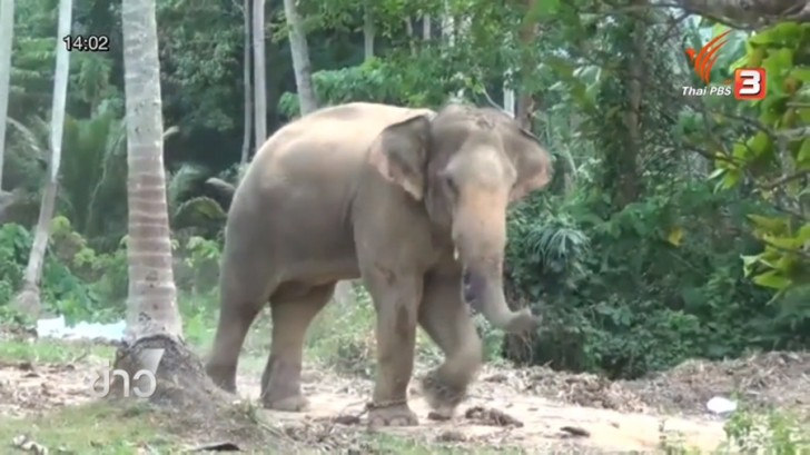 Mother of Scottish man killed by elephant in Samui says arrested mahout not to blame | Samui Times