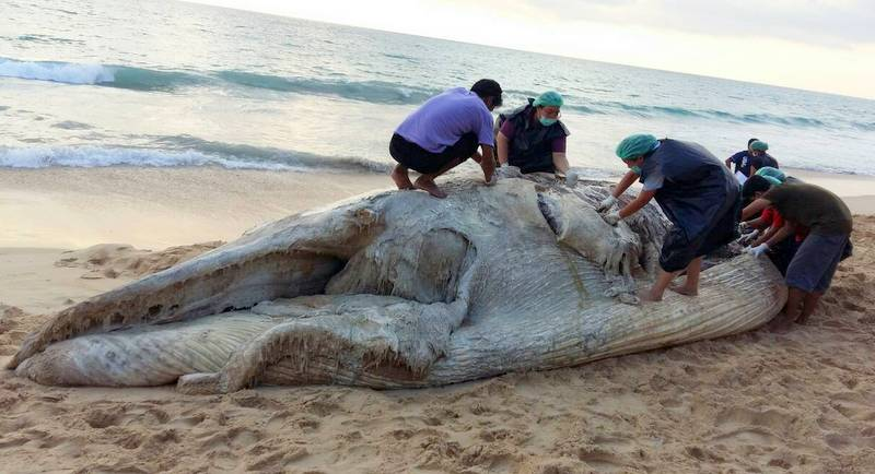 Missing Bryde's whale carcass washes up on beach north of Phuket | Samui Times
