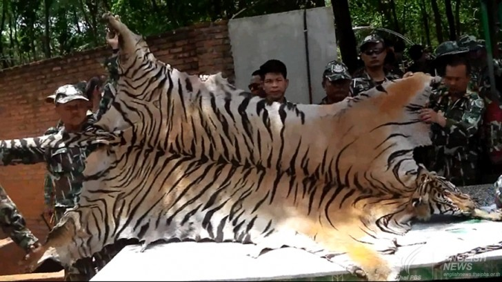 Tiger's hides and amulets seized from a truck leaving Tiger's Temple | Samui Times