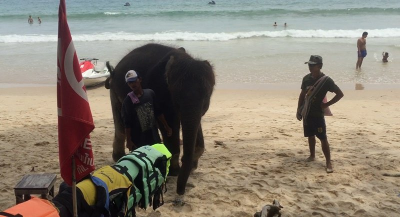 Phuket police on the lookout for mahout and his tourist attraction elephant | Samui Times