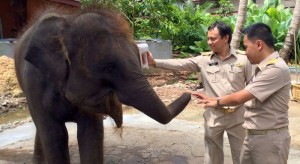 officials seize baby elephant in Phuket