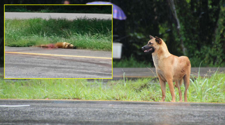 Faithful dog waiting by the roadside for his master is dead – now the blaming starts | Samui Times