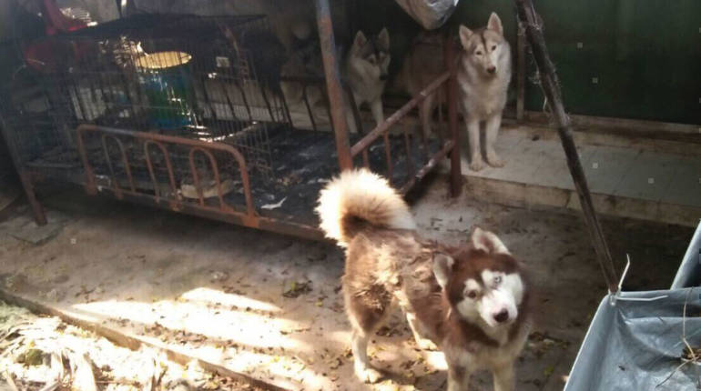 Siberian husky pups rescued from Nonthaburi house | Samui Times