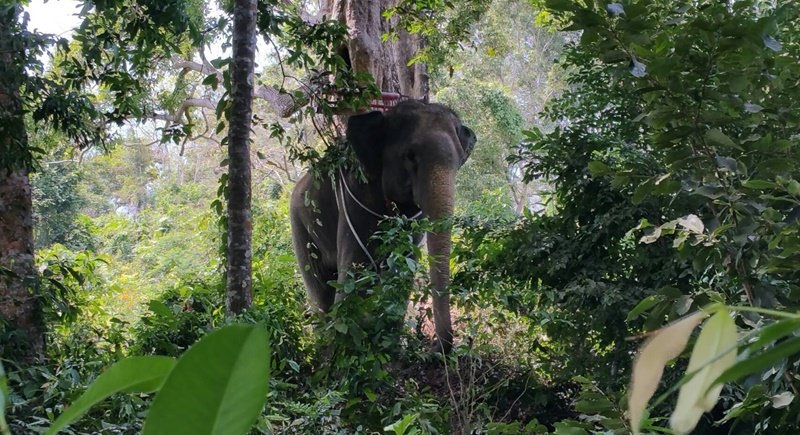 Phuket elephant hits out at mahout | Samui Times