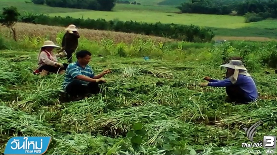 TTM to grow Hemp plant for industrial use | Samui Times