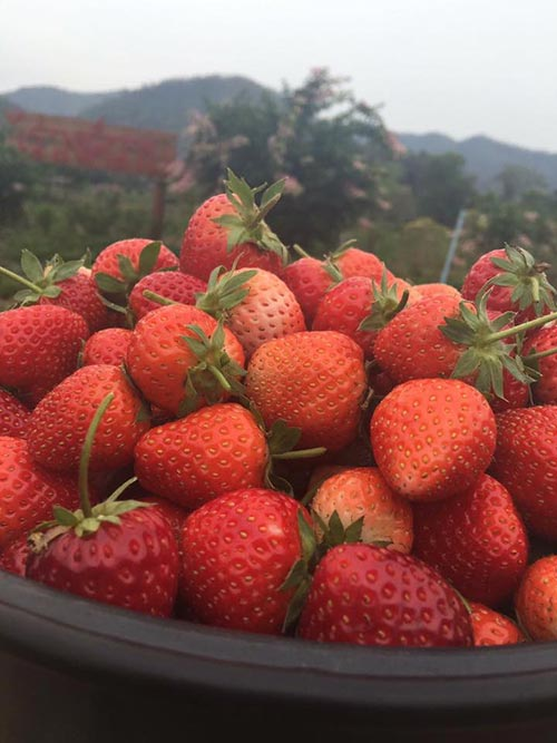 Strawberry fest underway in Chiang Mai | Samui Times