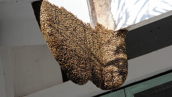 Australian expat killed by swarm of bees in Phayao | Samui Times