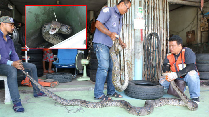 Grannie takes matters into her own hands – in this case two huge pythons! | Samui Times