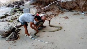 Giant King Cobra returned to nature in joint Thai/British rescue operation Samui   News by Samui Times
