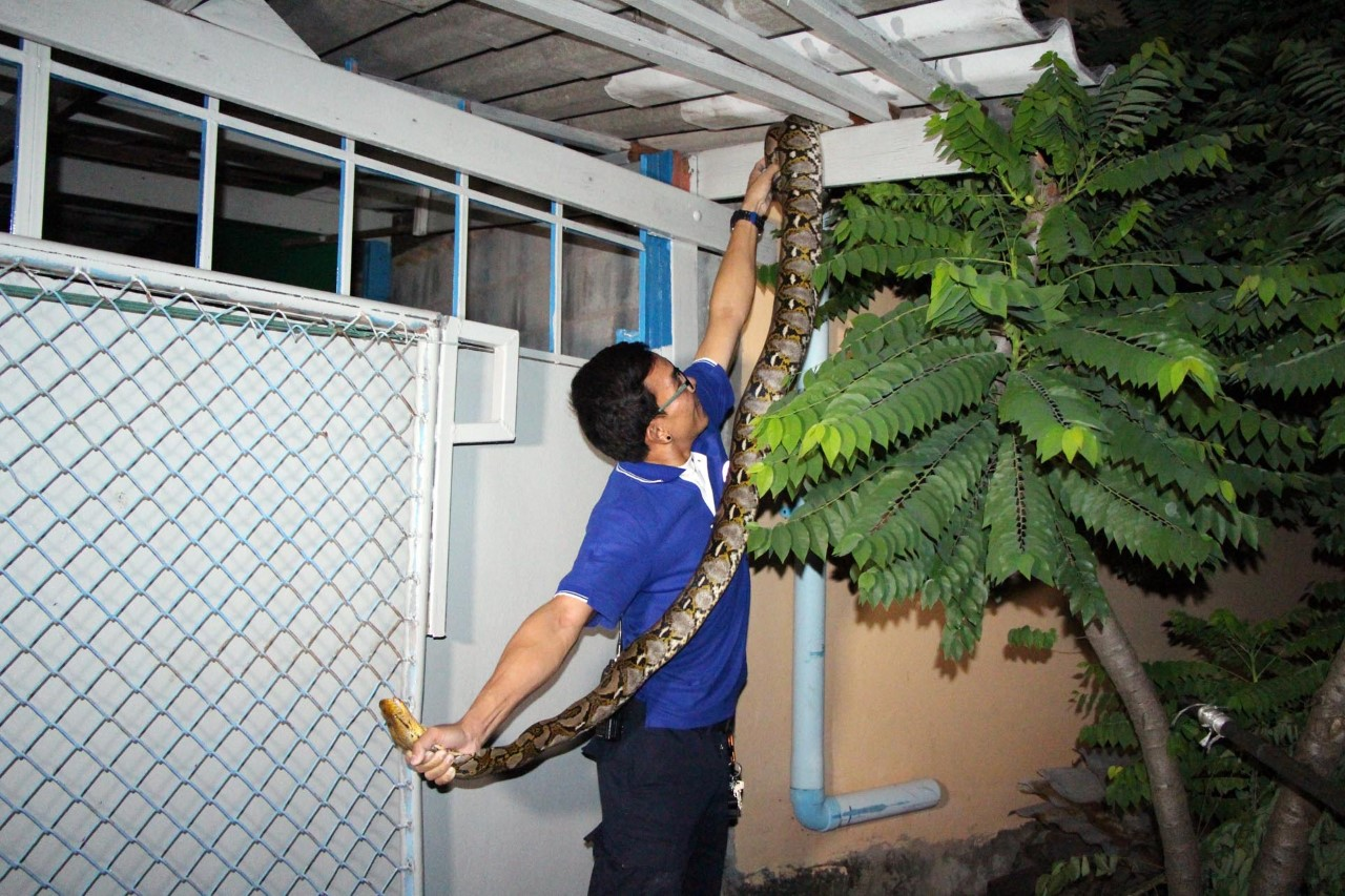 Barking dog alerts Pattaya house owner to four meter python in the roof | Samui Times