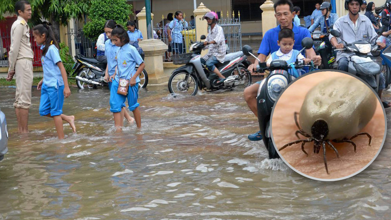 The silent danger of the rainy season: Ticks | Samui Times