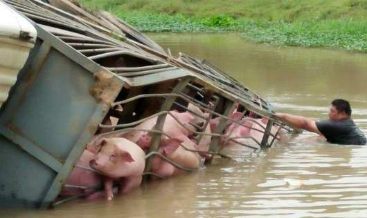 70 pigs drown after truck flips into Suphan Buri canal | Samui Times