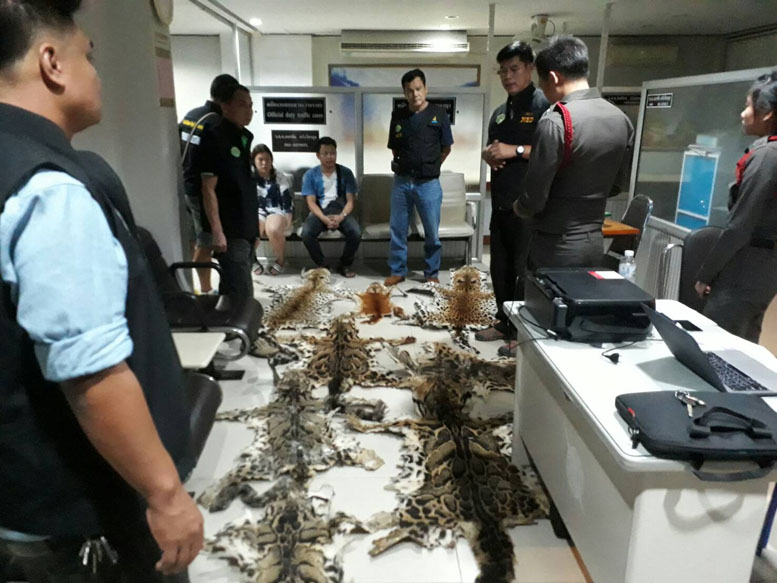 Threatened Cat Skin Smugglers Arrested in Chiang Mai | Samui Times