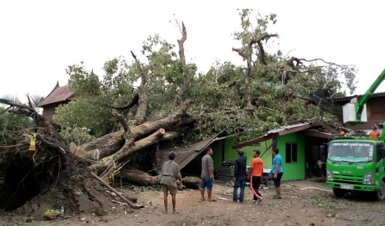 Tree Fall: Woman loses house to 100-year-old tree | Samui Times