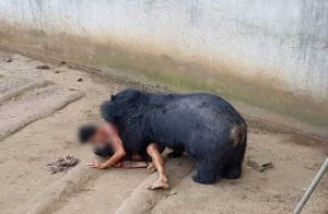 Drunk Thai man escapes death after mauling from bear at Phetchabun temple sanctuary | News by Samui Times