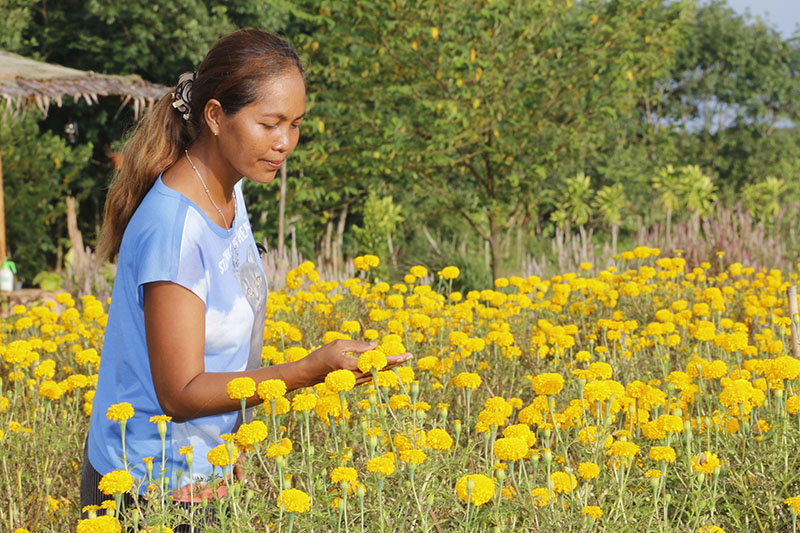 Field Of Gold: Husband-Wife Team Plant Thousands Of Marigolds | Samui Times