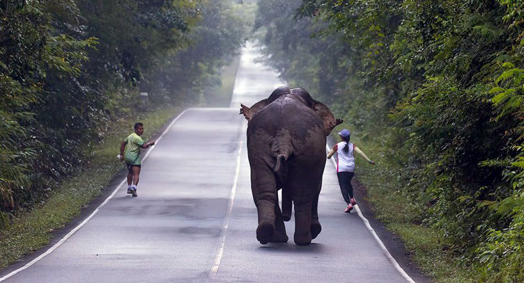 Selfie-craze almost costs runners their lives as elephant sees red | Samui Times