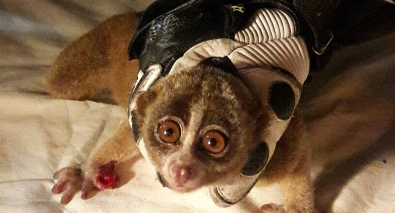 Slow loris saved from high-voltage cables in Phuket Town | Samui Times