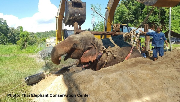 Wild elephant died three days after being rescued from stream | Samui Times