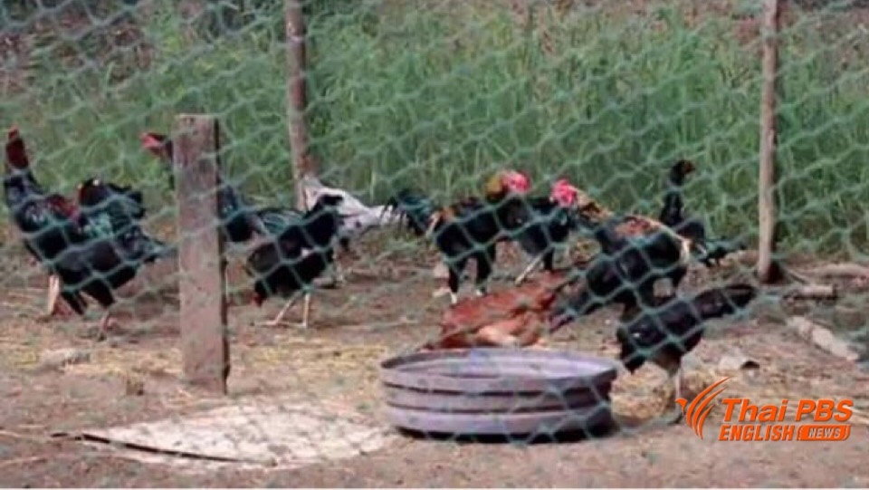 Bird flu prevention still necessary though no new human infection case reported | Samui Times
