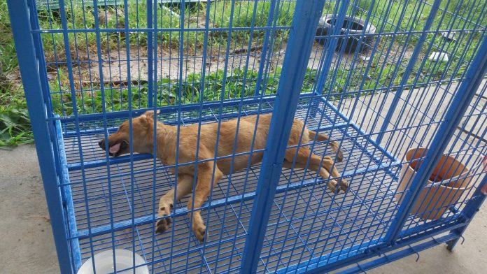 Korat Officials Accused of Killing Healthy Dogs   Samui Times