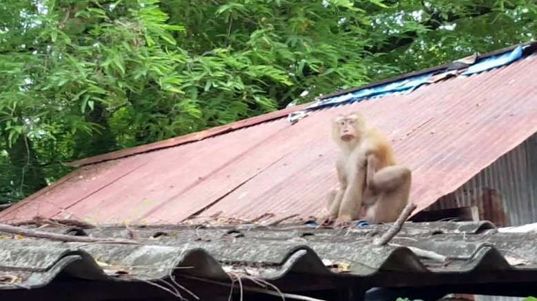 Concerns over Phuket wild monkeys as they risk entering homes to steal food | Samui Times