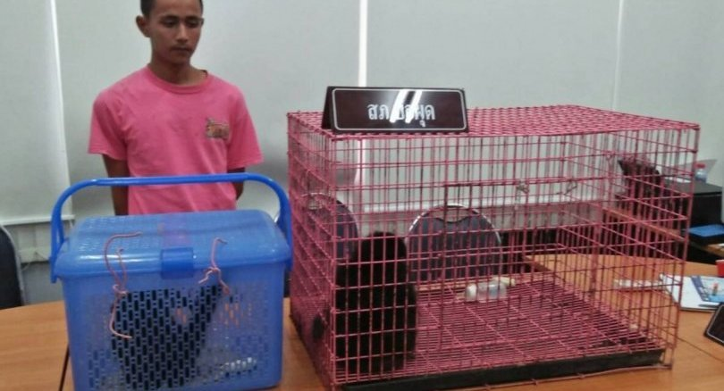 Two arrested on Koh Samui, three gibbons rescued | Samui Times