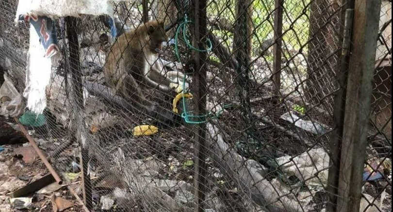 Facebook user calls for urgent rescue of monkey from temple cage | Samui Times