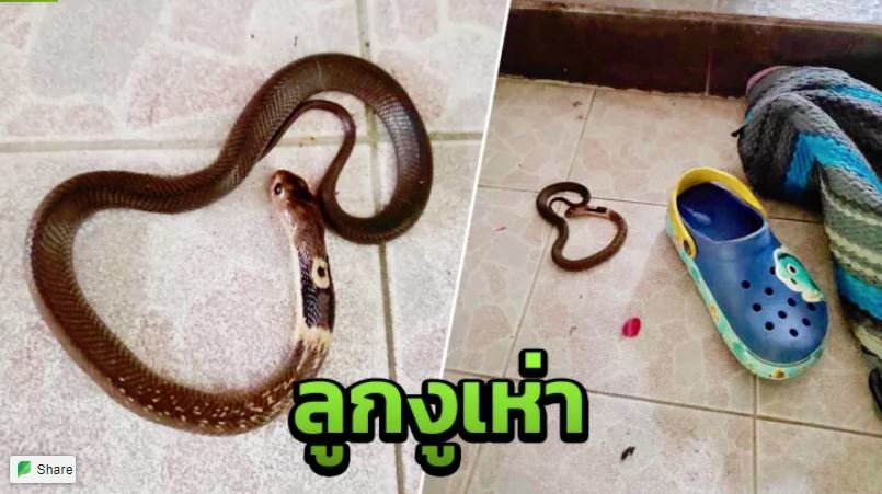 Check your shoes! Baby snakes could be lurking inside! | Samui Times