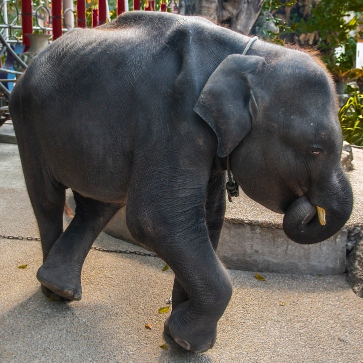 Tragic death of baby elephant forced to perform for tourists at Phuket Zoo | Samui Times