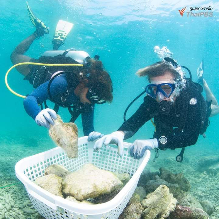 About 23,000 young corals being relocated from Maya Bay | Samui Times