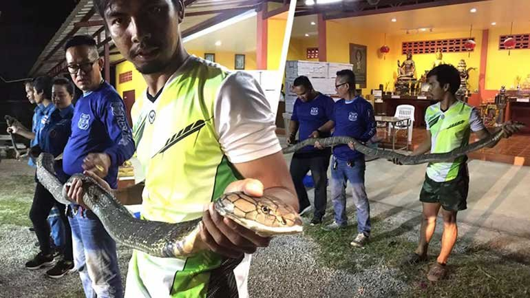 King Cobra in custody after eating a water monitor! | Samui Times