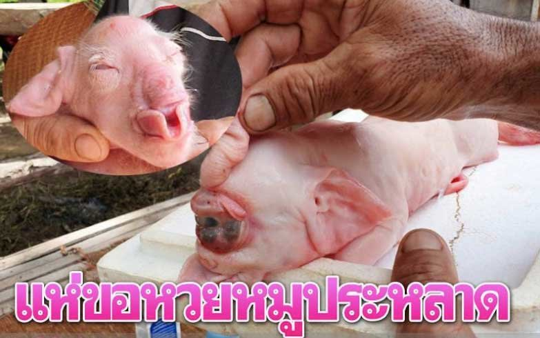 "Pigs with ""elephant trunks"" get the locals' lottery juices going! 