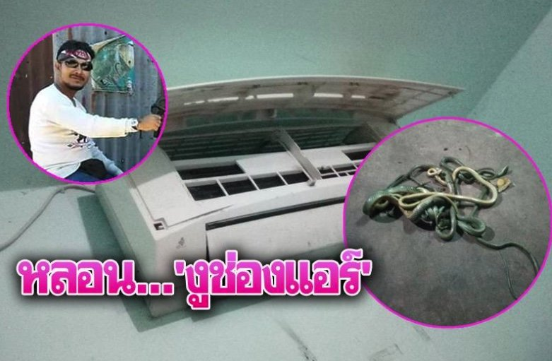 Five snakes beaten to death after copulation in the air-con | Samui Times