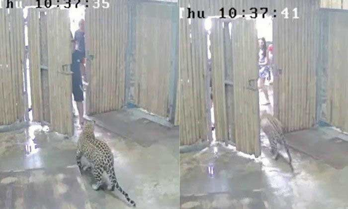 Two year old attacked by leopard at Koh Samui safari park, Israeli media | Samui Times