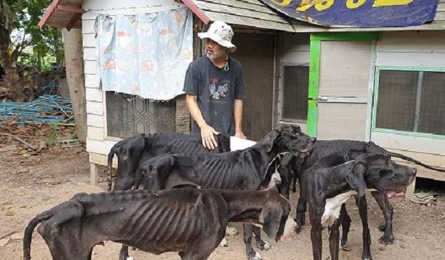 Starved Great Danes rescued | Samui Times