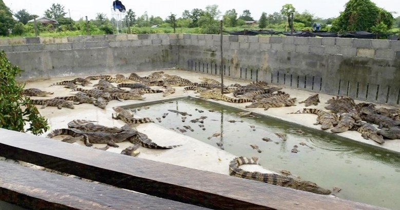 Authorities tell crocodile farms to beef up security | Samui Times