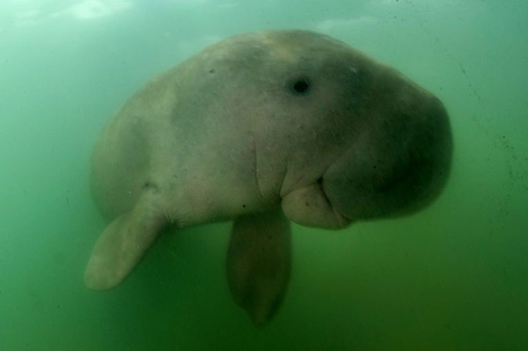 10th dugong found dead in the sea off Trang province | Samui Times