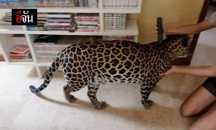 "Farang slammed for keeping ""dangerous"" leopard as a pet 
