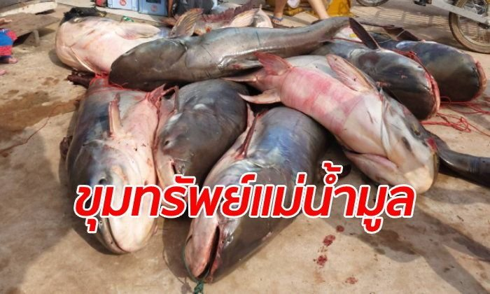 Better than the lottery! Ubon fisherman nets 16 giant catfish worth half a million! | News by Samui Times