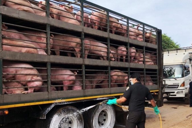 MOPH assures African Swine Fever not communicable to humans | Samui Times