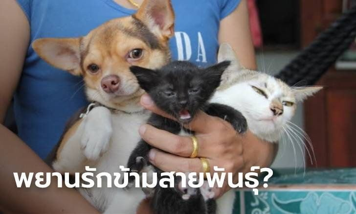 Dats and Cogs??!! Thai woman in Sakon Nakhon claims her chihuahua had his way with her cat producing offspring | Samui Times