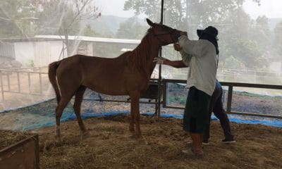 Thai horses dying from African Horse Sickness | Samui Times