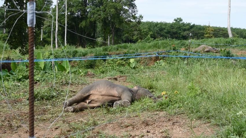 Baby Elephants Electrocuted To Death By Orchard Fence | Samui Times