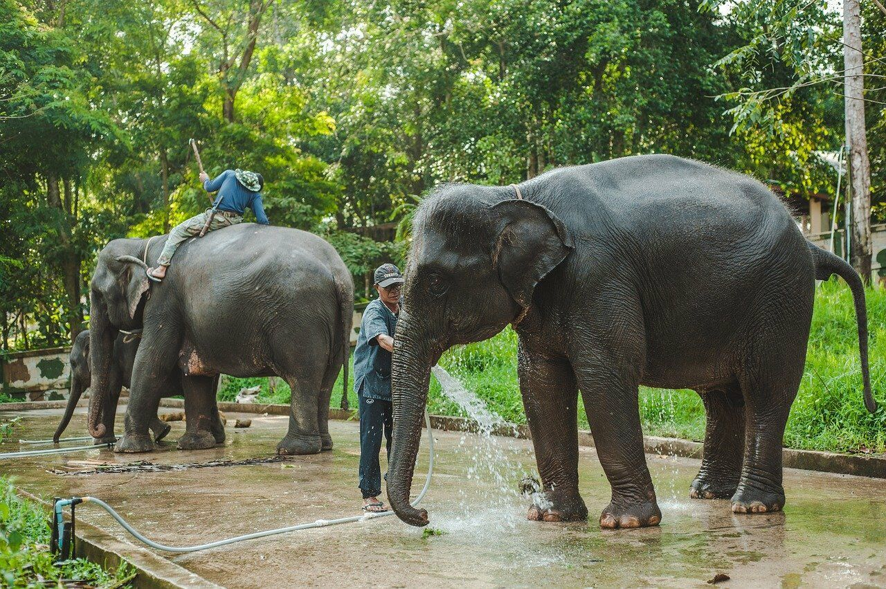 Elephants. Things to do correctly in Thailand